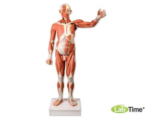Мужская фигура с мышцами, в натуральную величину, 37 частей