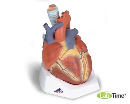 Модель сердца, 7 частей