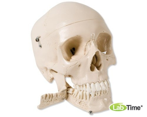 Модель черепа с зубами для обучения экстракции зуба, 4 части