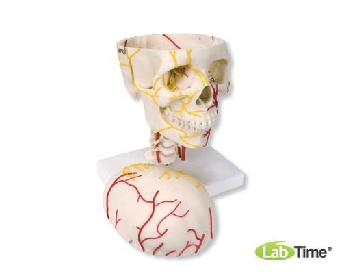 Модель черепа с нервами и сосудами