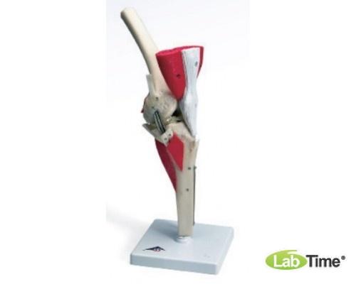 Модель коленного сустава класса «люкс»