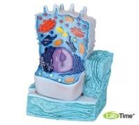 Модель животной клетки