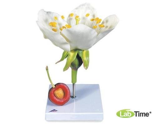 Модель цветка и плода черешни (Prunus Avium)