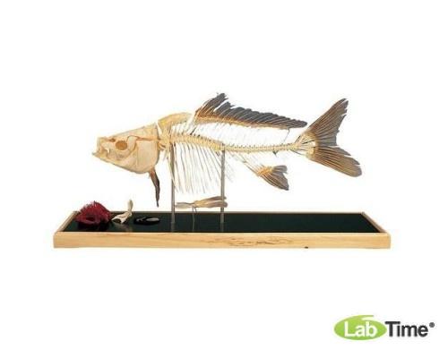 Модель скелета рыбы – карп (Cyprinus carpio)