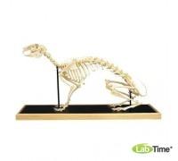 Модель скелета зайца (Lepuseuropaeus)
