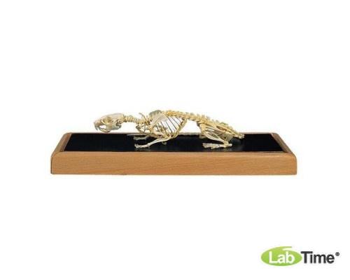 Модель скелета крысы (Tattus rattus)