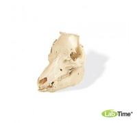 Модель черепа свиньи (Sus scrofa)