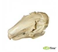 Модель черепа зайца (Lepus europaeus)