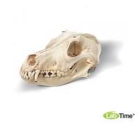Модель черепа собаки, реконструкция