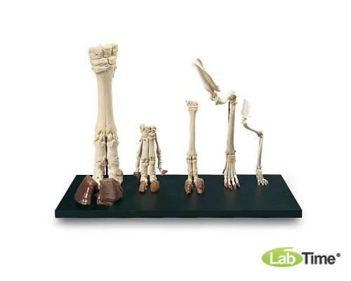 Модель конечности млекопитающих
