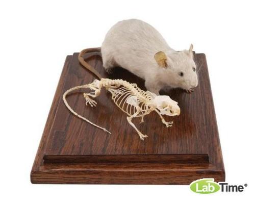 Модель скелета и чучела мыши