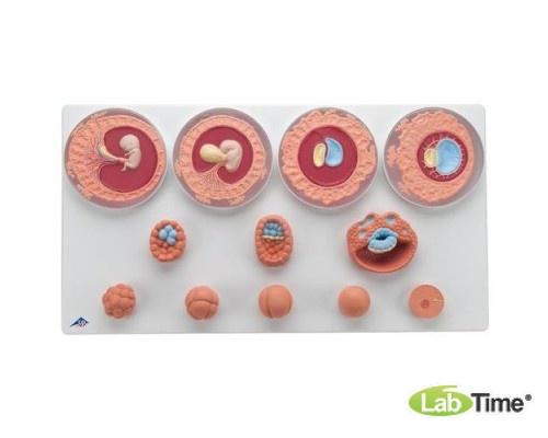 Модель эмбрионального развития, 12 стадий