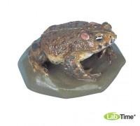 Модель камышовой жабы (Bufocalamita)