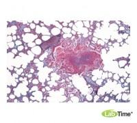 Микропрепараты «Гистология млекопитающих», первичный набор, на английском языке