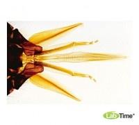 Микропрепараты «Медовая пчела Apis mellifica» на английском языке