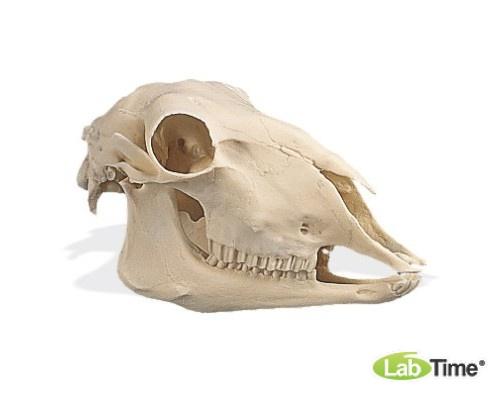 Модель черепа овцы (Ovis aries)