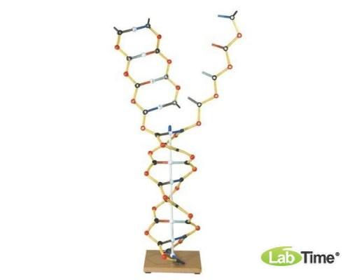 Модель ДНК-РНК