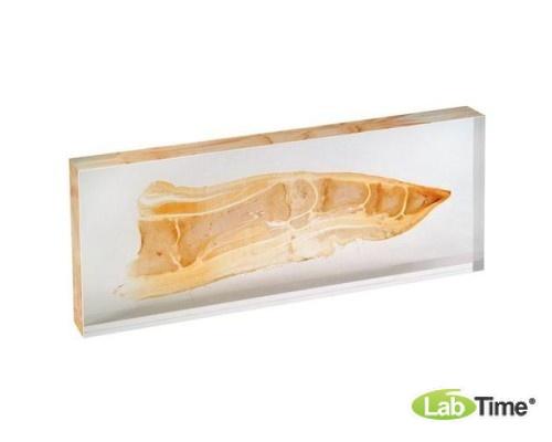 Модель пластинированного среза конечностей свиньи