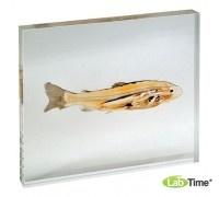 Модель пластинированного среза рыба