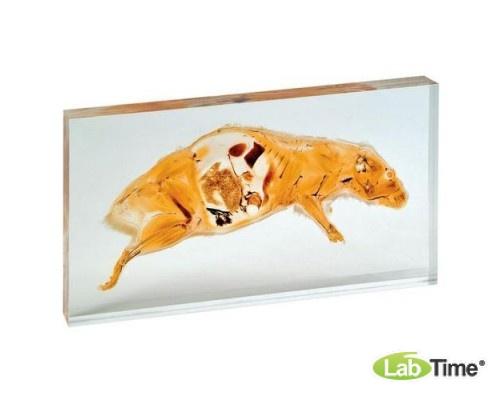 Модель пластинированного среза крыса