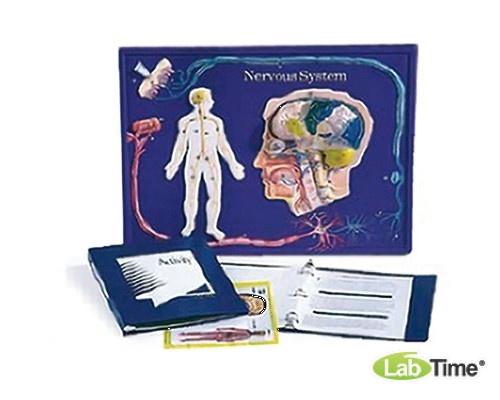 Набор для работы с моделью нервной системы