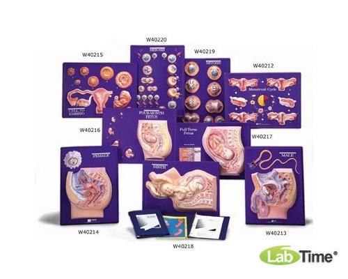 Набор для работы с моделью менструального цикла