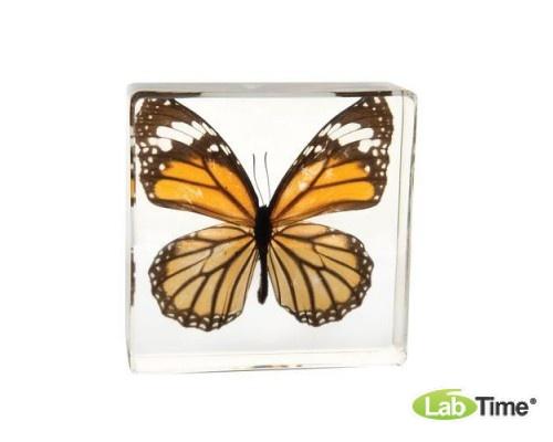 Модель монарха (Danaus Genutia Cramer) в стеклянном блоке