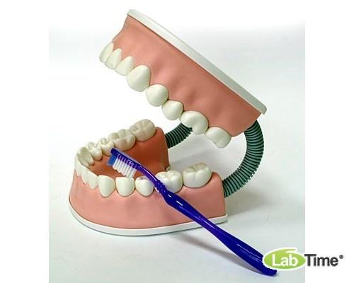 Тренажёр ухода за зубами С6
