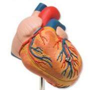 Сердце, сосудистая система